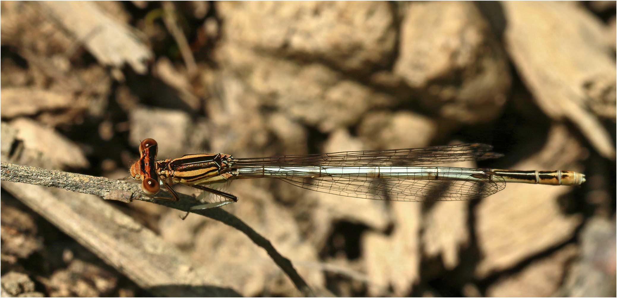 Platycnemis latipes femelle, Castelnau-Chalosse (France-40), 04/07/2020