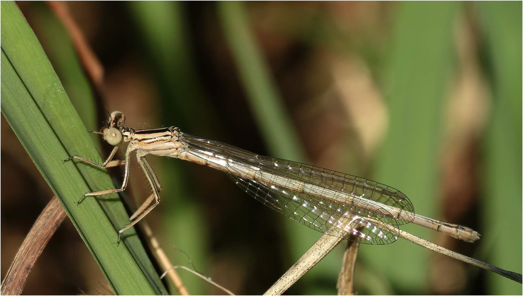 Platycnemis latipes femelle émergente, Sort-en-Chalosse (France-40), 06/07/2020