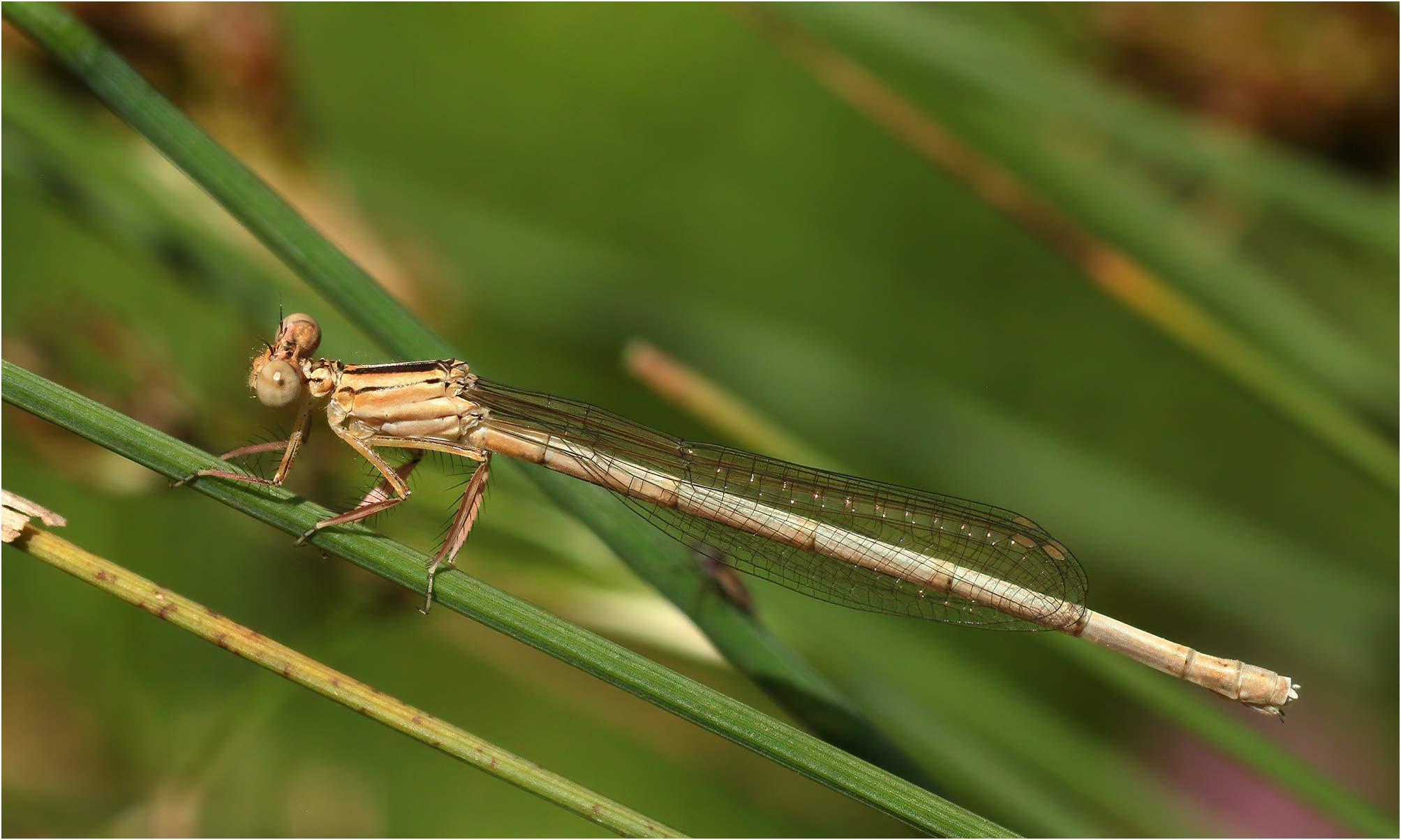 Platycnemis latipes femelle émergente, Castelnau-de-Montmiral (France-81), 21/06/2021