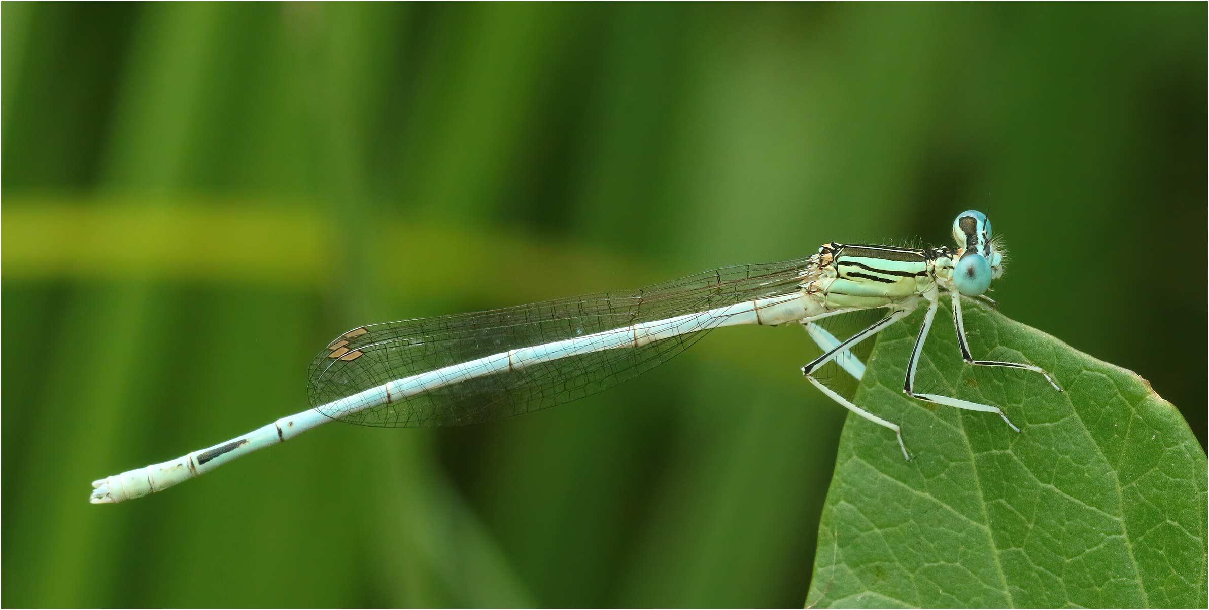 Platycnemis latipes mâle, Castelnau de Montmiral (France-81), 18/07/2019