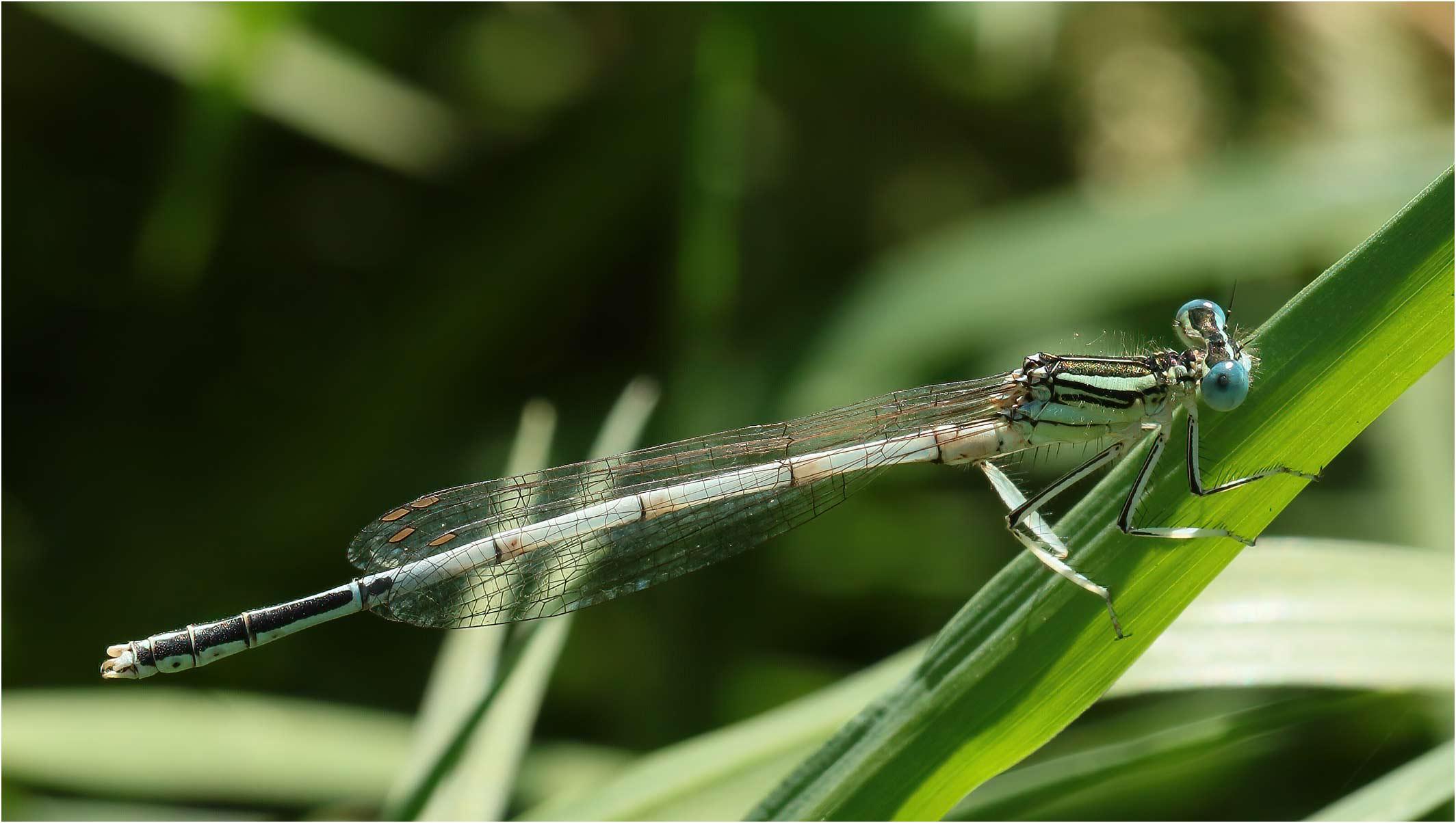 Platycnemis latipes mâle, Portet sur Garonne (France-31), 19/07/2019