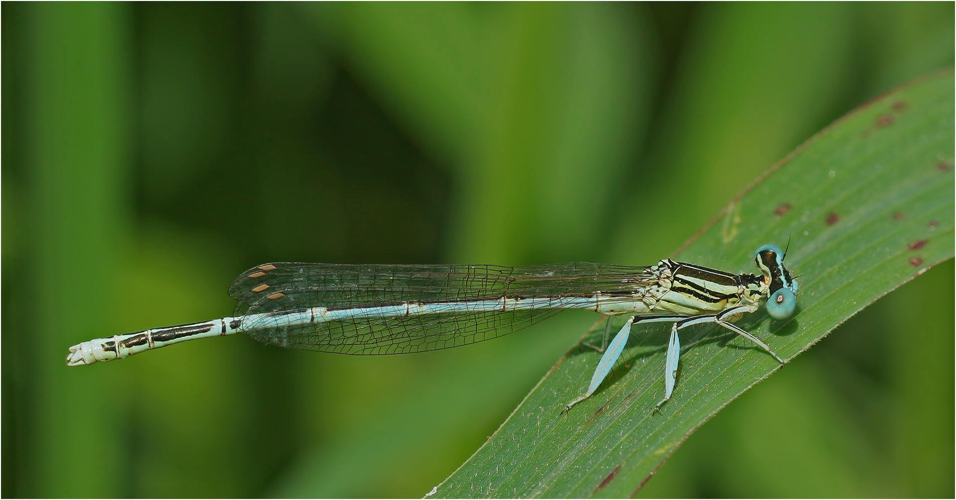 Platycnemis pennipes mâle, Villemur-sur-Tarn, 17/07/2019