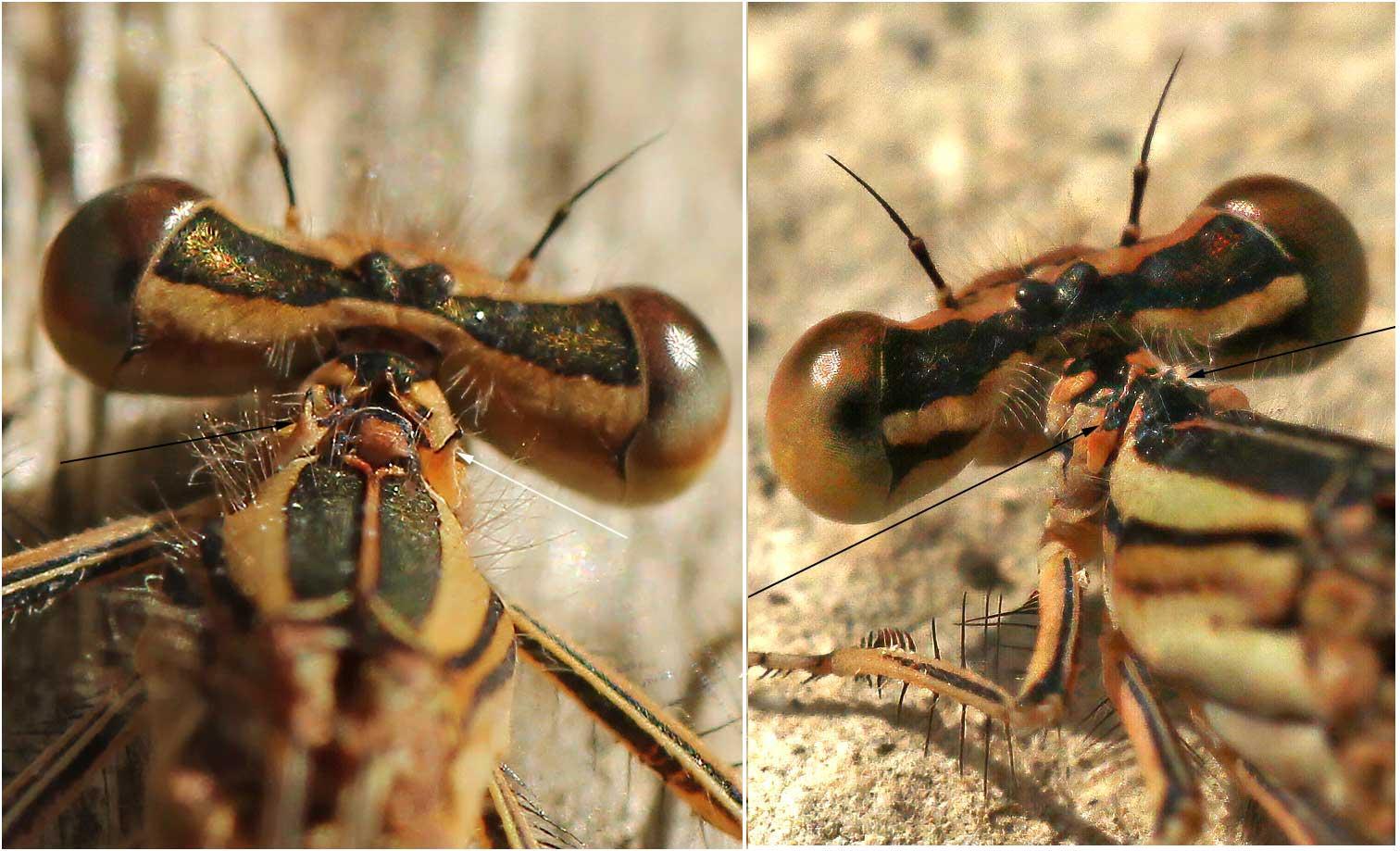 Pronotum des femelles Platycnemis (G) acutipennis et Platycnemis latipes (D)