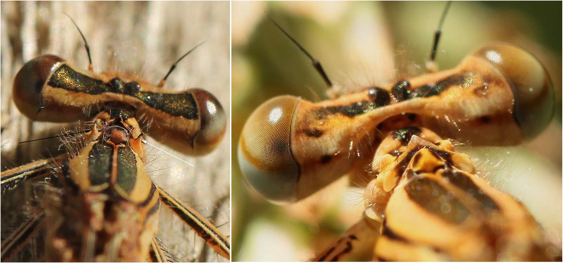 Pronotum des femelles Platycnemis acutipennis (G) et Platycnemis pennipes (D)