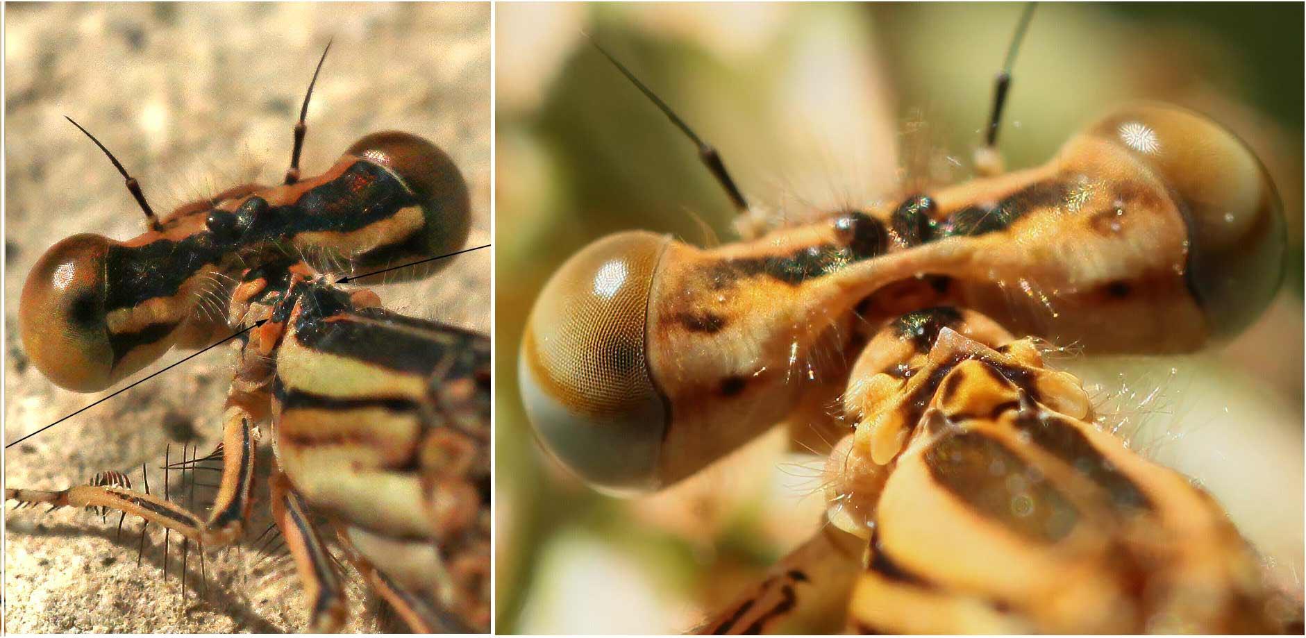Pronotum des femelles Platycnemis latipes (G) et Platycnemis pennipes (D)