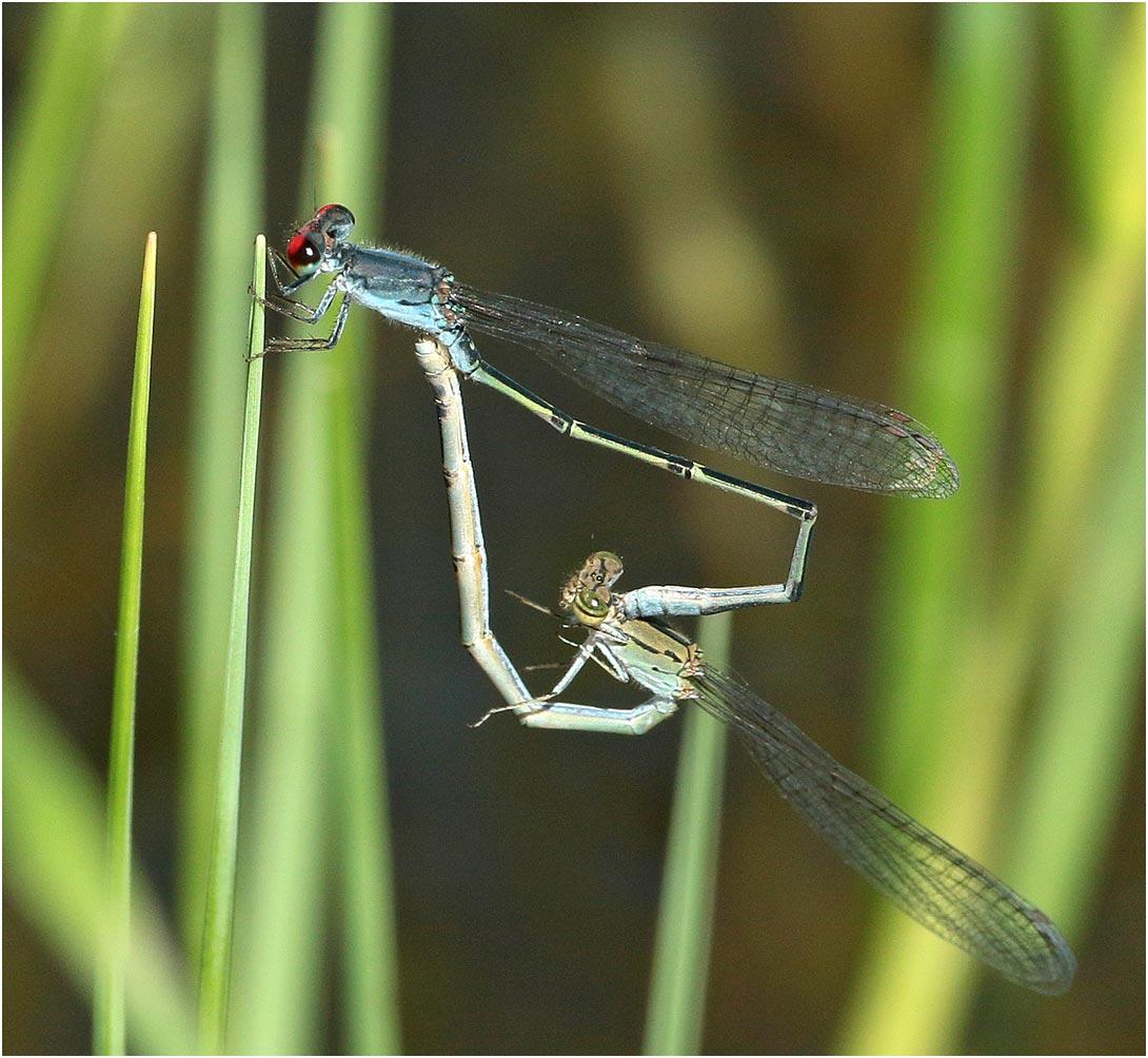 Pseudagrion sublacteum accouplement, Namibie, Rundu sur l'Okavango River, 10/02/2020