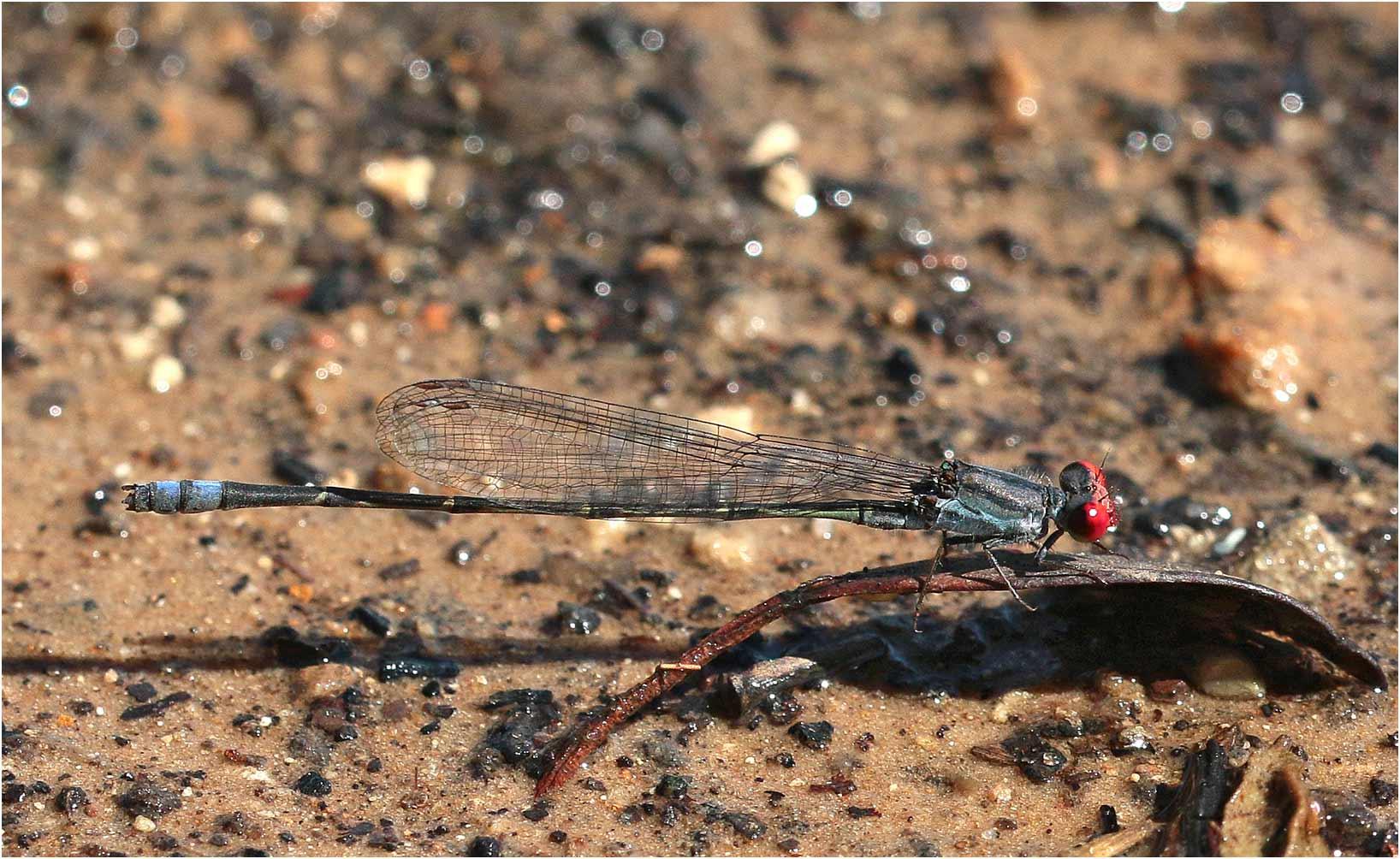 Pseudagrion sublacteum mâle, Namibie, Katima Mulilo sur le Zambèze, 13/02/2020