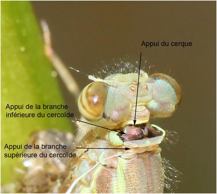 Pyrrhosoma nymphula femelle en émergence, Beaupréau en Mauges (France-49), 12/04/2011