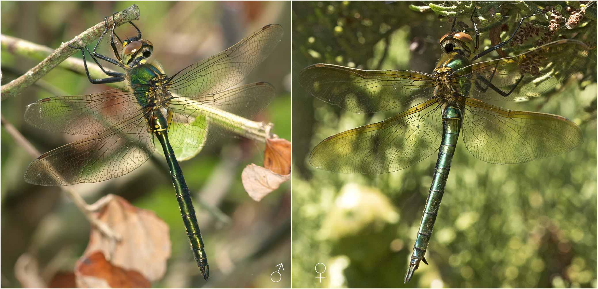 Somatochlora metallica mâle et femelle, FranceSomatochlora metallica mâle et femelle, France