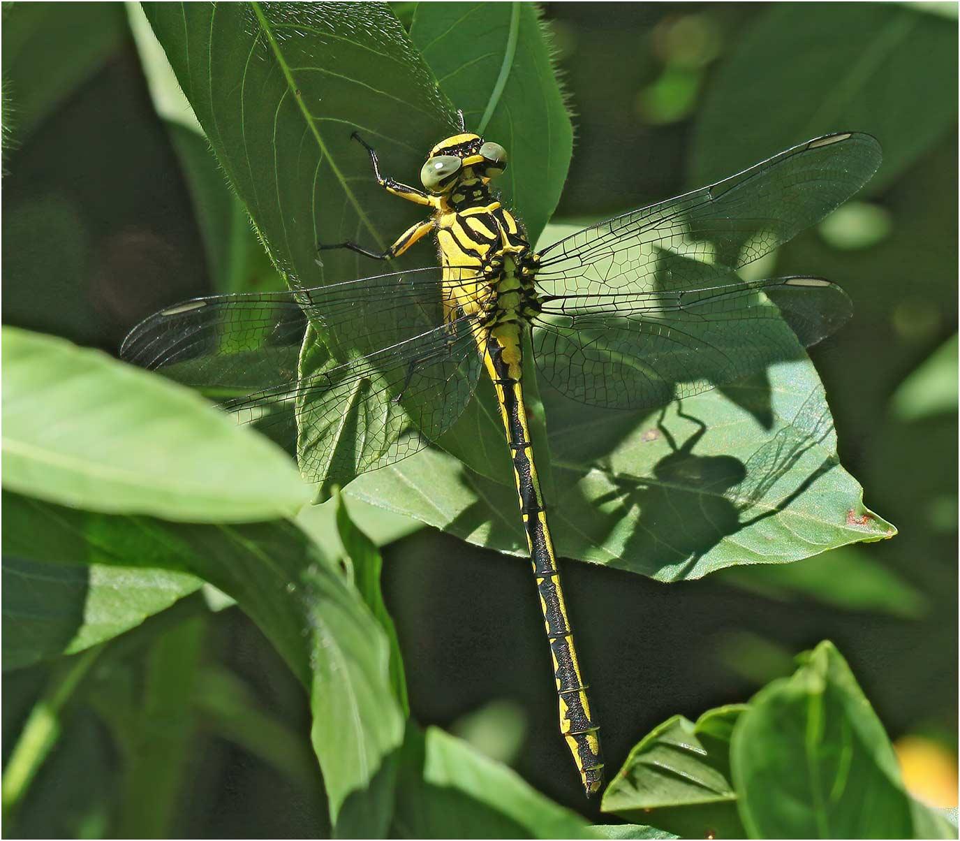 Stylurus flavipes femelle, Siest (France-40), 05/07/2020