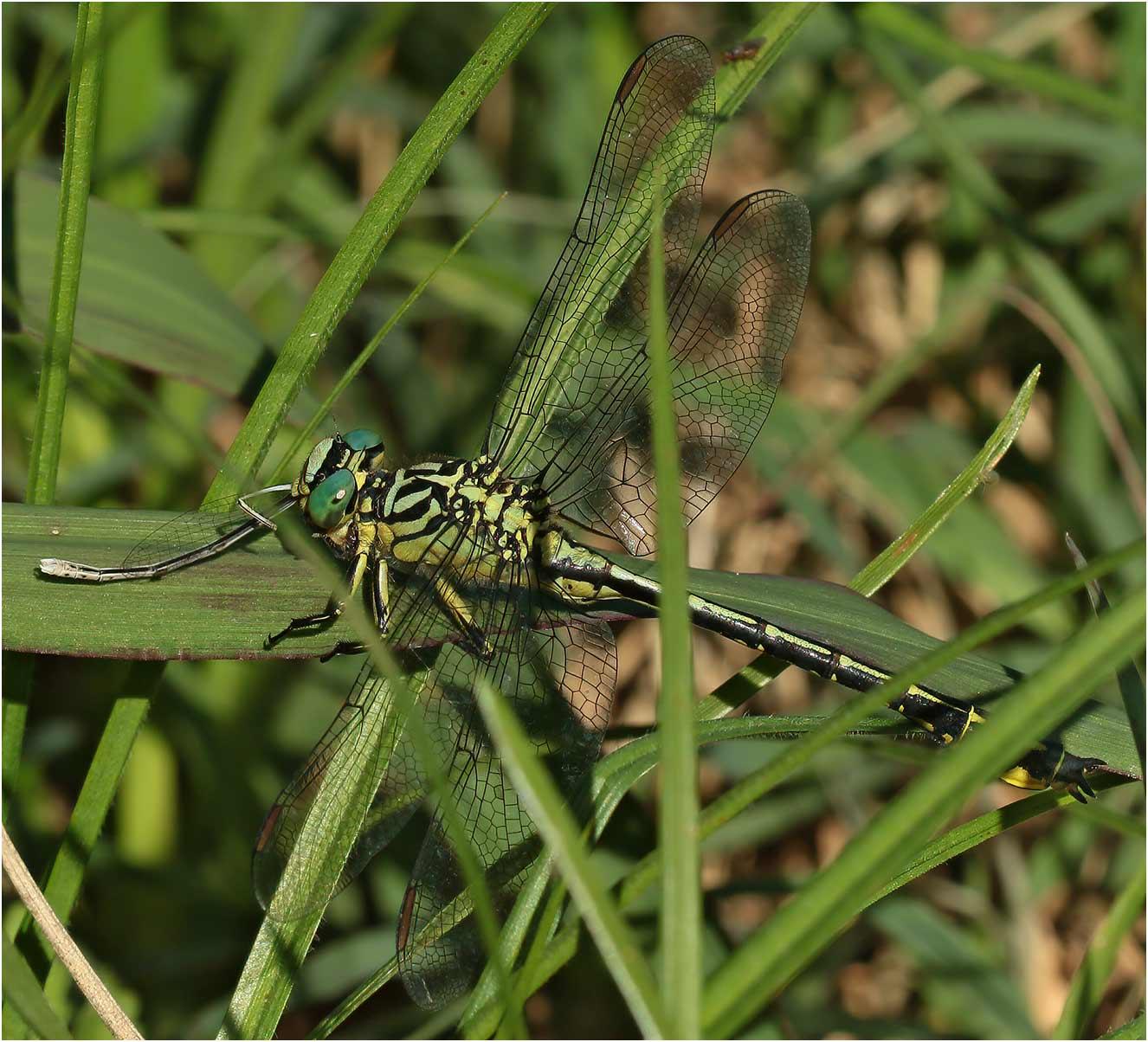 Stylurus flavipes mâle, Sort-en-Chalosse (France-40), 06/07/2020