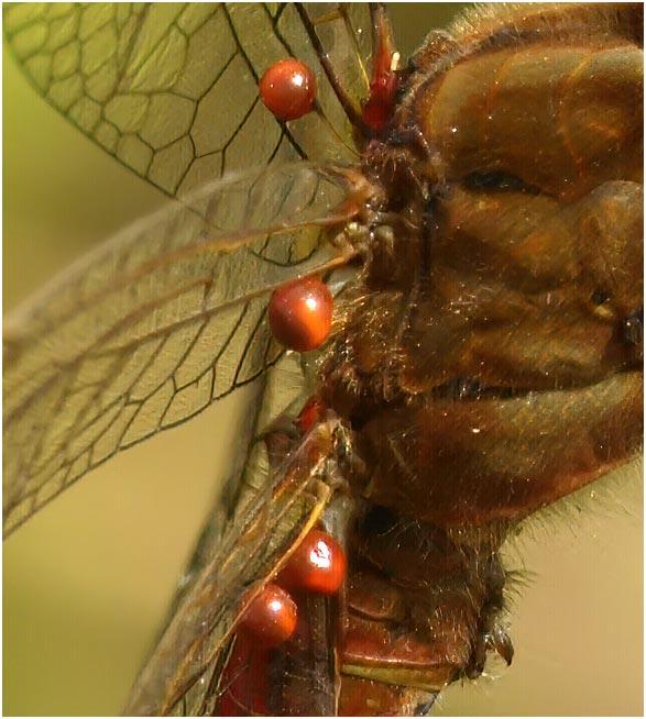 Sympetrum meridionale mâle parasité par Arrenurus papillator, Jallais (France-49), 05/09/2010
