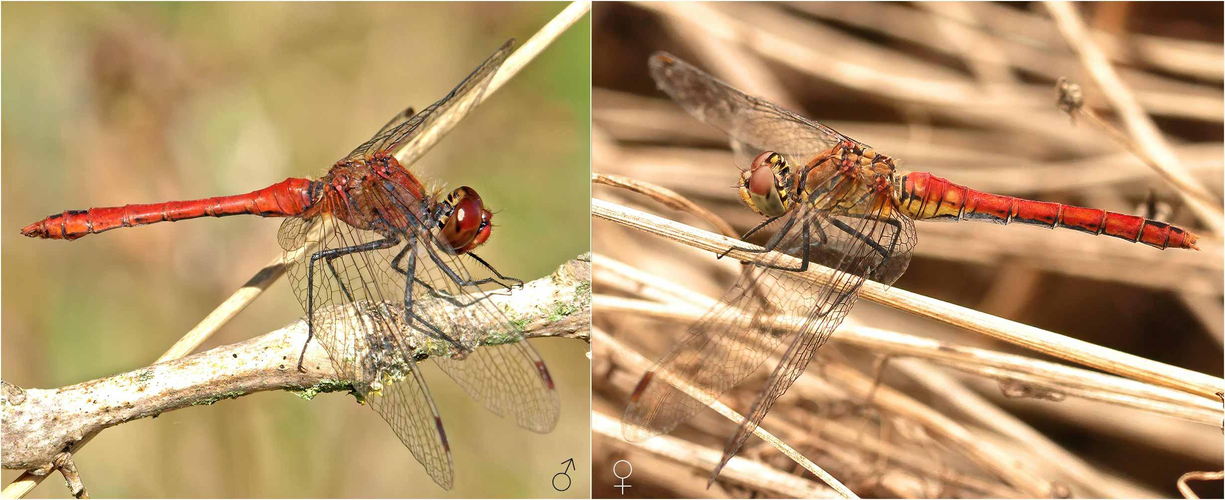Sympetrum sanguineum mâle et femelle, France