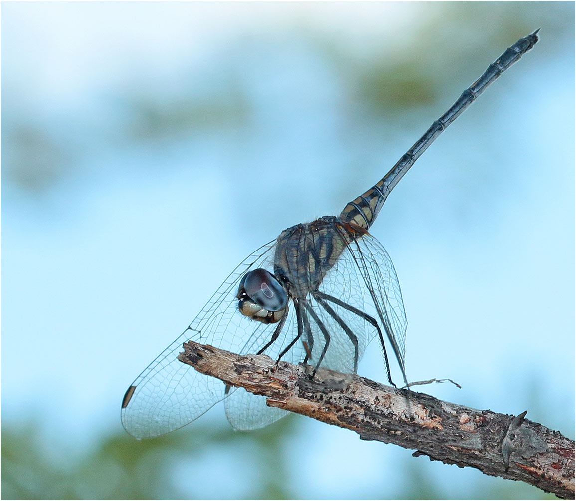 Trithemis hecate femelle, Nambie, Rundu sur l'Okavango, 10/02/2020