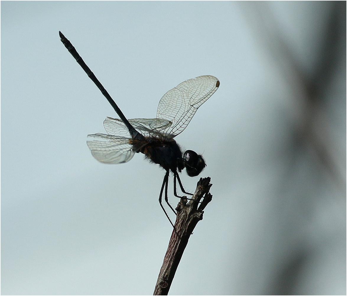 Trithemis hecate, Namibie, Kalambesa près d'un bras mort du Zambèze, 15/02/2020