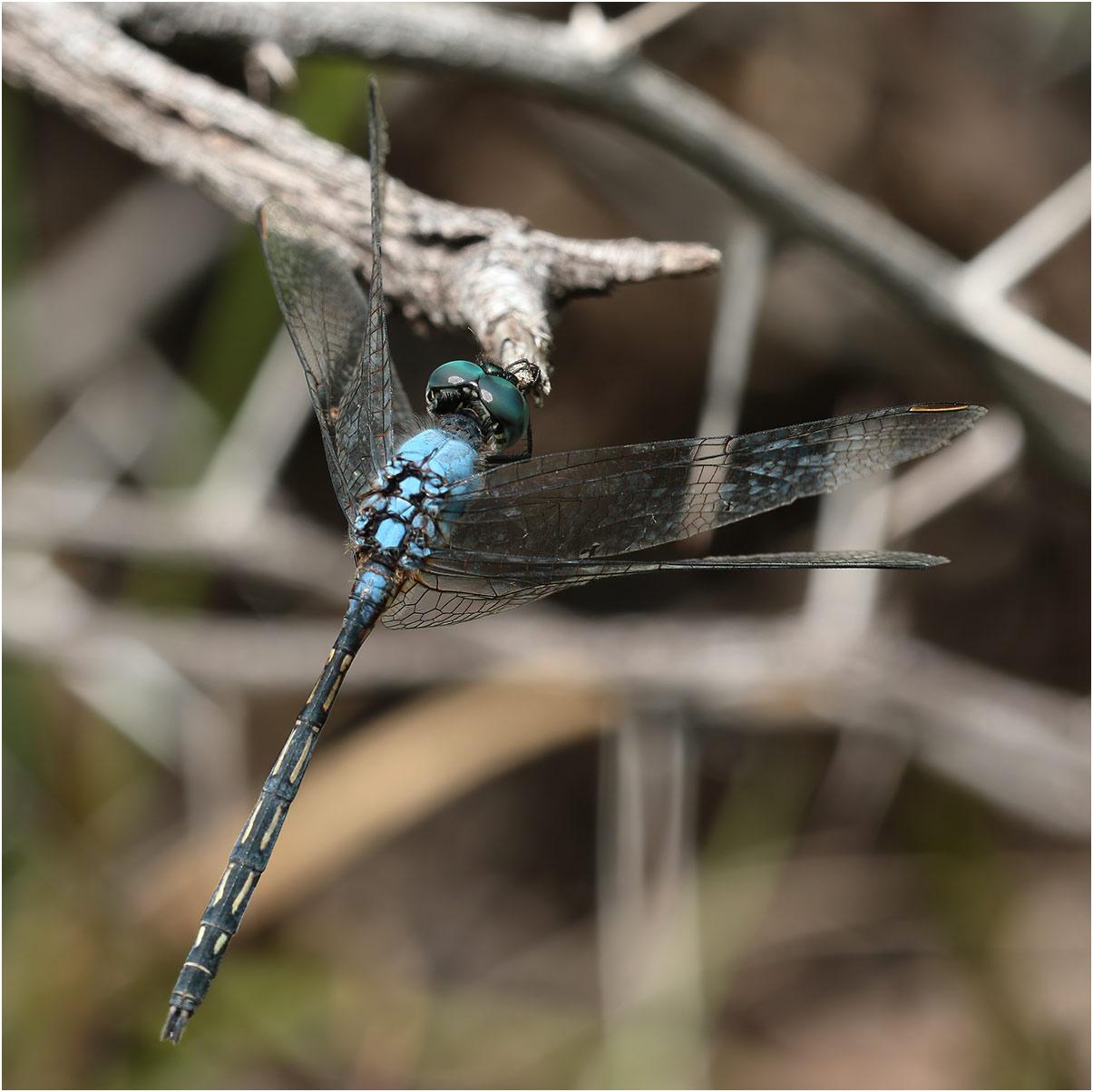 Trithemis stictica mâle, Namibie, Mayuni conservancy near Bum Hill, Kwando River, 16/02/2020