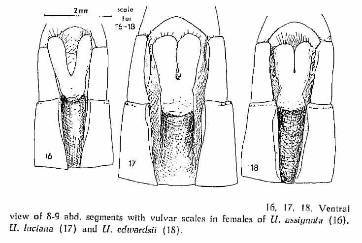 Comparaison des lame vulvaire des 3 Urothemis africains, Balinski -1961