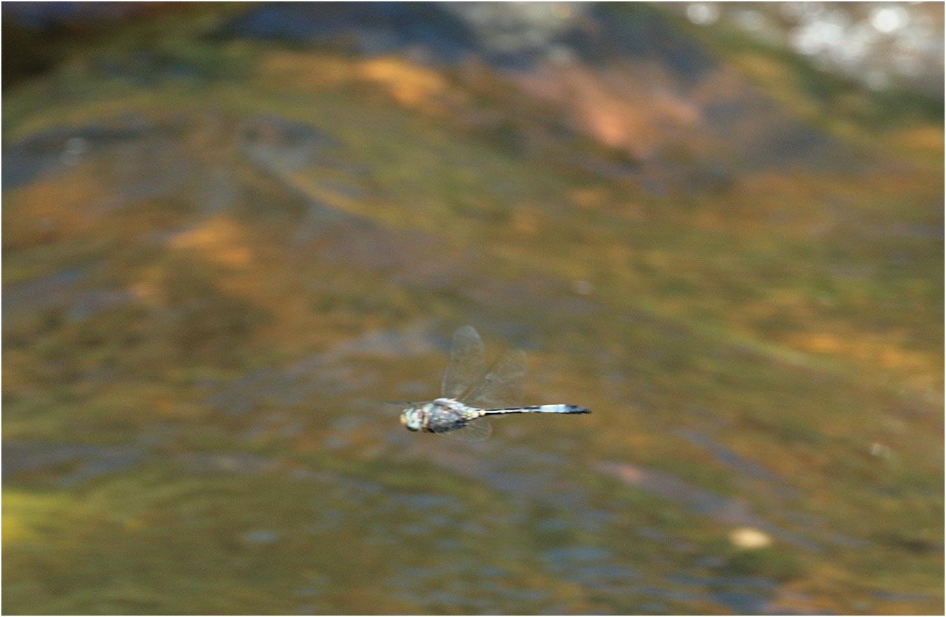 Zygonyx natalensis mâle, Namibie, Popa Falls sur l'Okavango, 19/02/2020